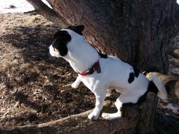 Hund i träd